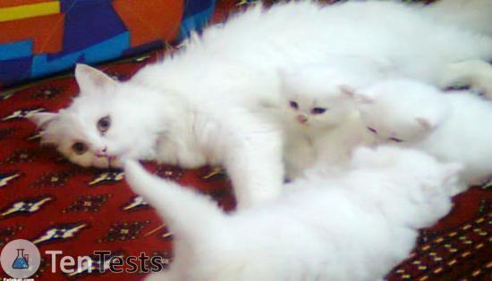 داء القطط -2